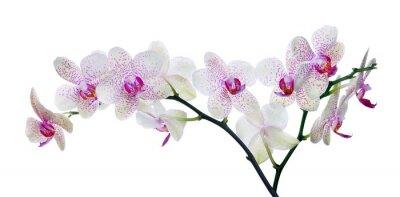 Carta da parati luce fiore di colore orchidea in macchie rosa su fondo bianco