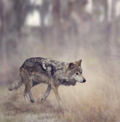 Carta da parati Lupo grigio (Canis lupus)