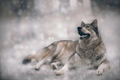 Carta da parati Lupo / Nizza lupo sulla neve sfondo.