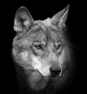 Carta da parati lupo ritratto