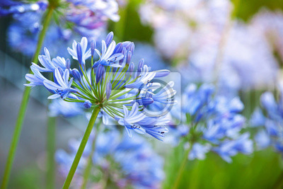 Carta da parati Macro fotografia di brillanti Agapanthus fiori blu