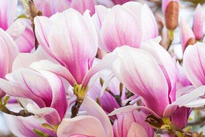Carta da parati magnolia fiore rosa