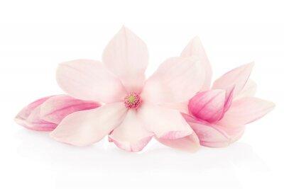 Carta da parati Magnolia, fiori rosa e boccioli di gruppo su bianco, la saturazione percorso