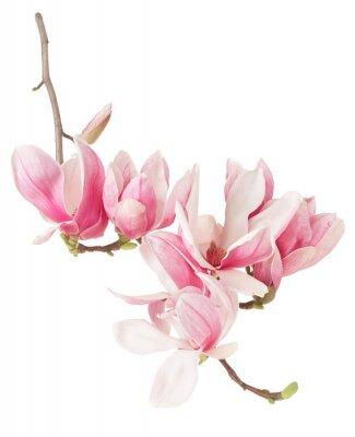 Carta da parati Magnolia, primavera ramo di fiori rosa e gemme su bianco, la saturazione percorso