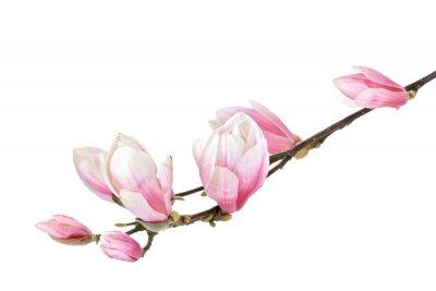 Carta da parati Magnolia ramo fiore isolato su uno sfondo bianco