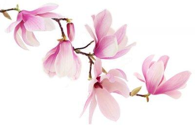 Carta da parati Magnolia rosa fiori primaverili ramo