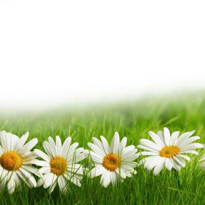 Carta da parati margherita fiori bianchi in erba verde