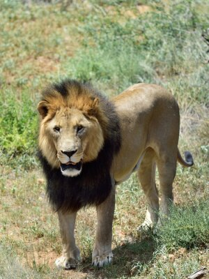 Carta da parati Maschio leone, Namibia