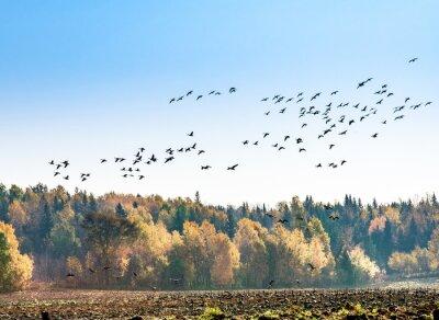 Carta da parati migrazione oche canadesi
