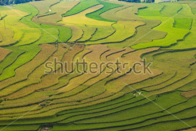 Carta da parati MuCangChai,Terraced rice field in rice season in Mu Cang Chai, Vietnam