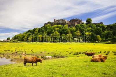 Carta da parati Mucca dell'altopiano di fronte al castello di Stirling. Tipico scozzese scozzese. Stirling, Scozia, Regno Unito