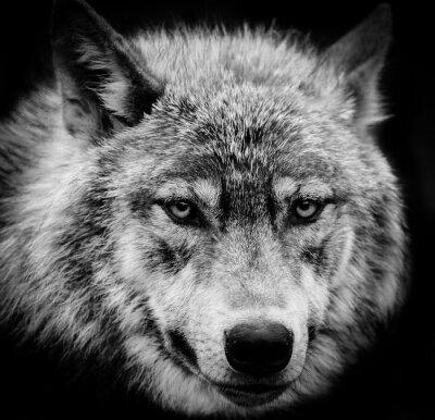 Carta da parati Occhi di lupo, Una testa in bianco e nero girato di un lupo.