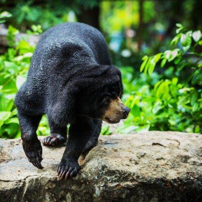 Carta da parati orsi neri