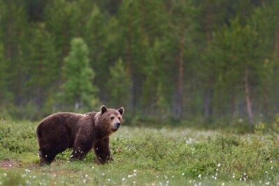 Carta da parati orso bruno con sfondo della foresta