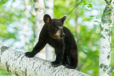 Carta da parati Orso Cub nero (Ursus americanus) Attiva Branch
