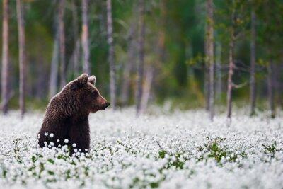 Carta da parati Orso di Brown tra cottongrass