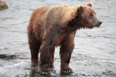 Carta da parati orso in piedi, Katmai