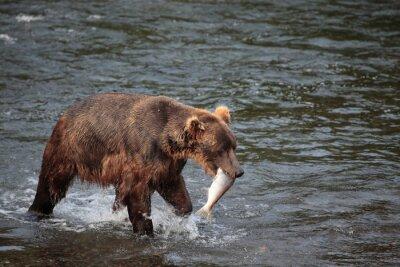 Carta da parati orso pesca