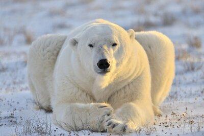 Carta da parati Orso polare che sta alla tundra.