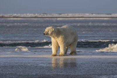 Carta da parati Orso polare controllo le cose