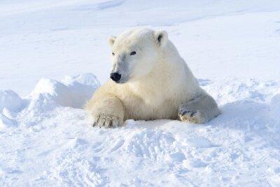 Carta da parati Orso polare madre che esce den appena aperto