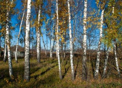 Carta da parati paesaggio autunnale con betulle