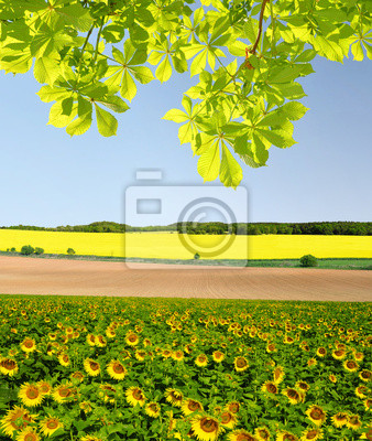 Carta da parati: Paesaggio di primavera con campo di girasole