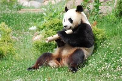 Carta da parati Panda 1