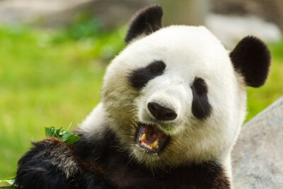 Carta da parati Panda bear eating bamboo