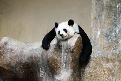 Carta da parati Panda Bear riposo