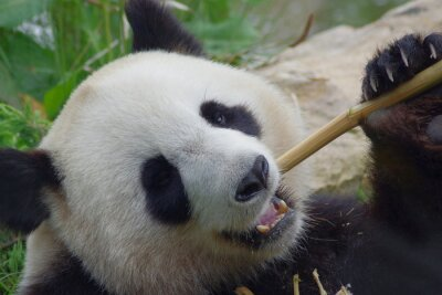 Carta da parati Panda Géant