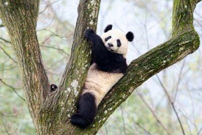 Carta da parati Panda gigante in seduta albero, Szechuan, Cina