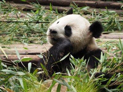 Carta da parati Panda gigante mangiando bambù a Chengdu della provincia di Sichuan in Cina