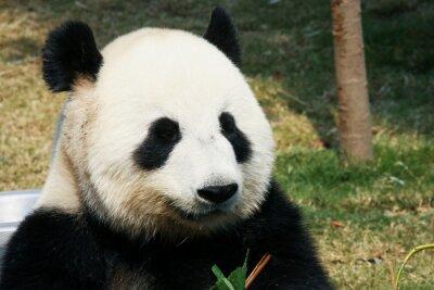 Carta da parati Panda mangiando bambù