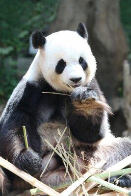 Carta da parati Panda orso mangia bambù