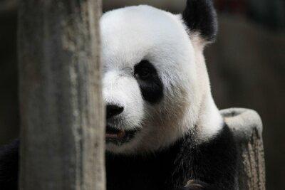 Carta da parati Panda orso ritratto