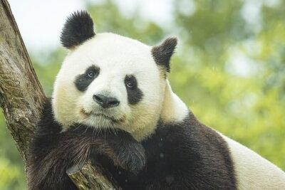 Carta da parati Panda Portrait