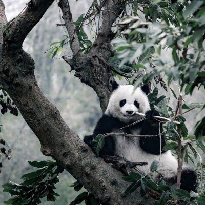 Carta da parati Panda sull'albero