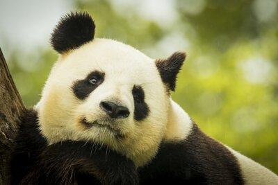 Carta da parati Panda sveglio