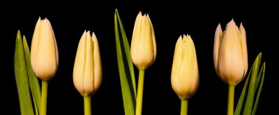 Carta da parati Panorama di tulipano bianco