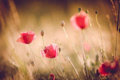Carta da parati Papaveri nel campo di natura estate con brillante luce dorata / estate sfondo / primavera sfondo