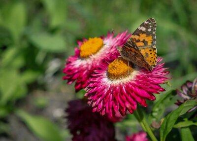Carta da parati papillon