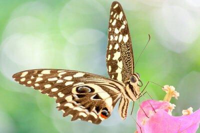 Carta da parati papillon sur fleur de Bougainvillée