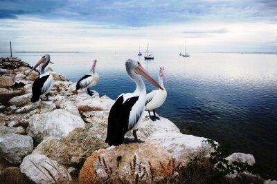 Carta da parati Pellicani, Kangaroo Island, Australia