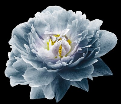 Carta da parati Peony flower blue on the black isolated background with clipping path. Nature. Closeup no shadows. Garden flower.