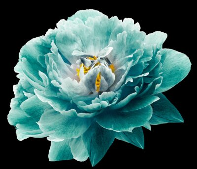 Carta da parati Peony flower turquoise on the black isolated background with clipping path. Nature. Closeup no shadows. Garden flower.