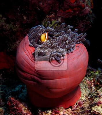 Carta da parati Pesce pagliaccio nel anemone rosso, Mar Rosso.