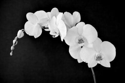 Carta da parati Phalaenopsis orchidea, in bianco e nero