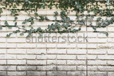 Carta da parati Pianta rampicante verde che cresce sul vecchio muro di mattoni