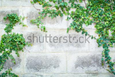 Carta da parati Pianta verde del rampicante su un bel fondo della parete bianca